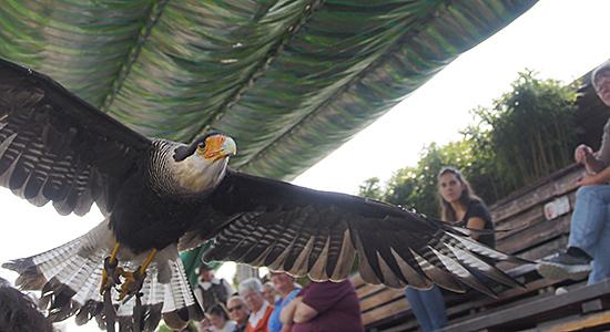 Falconeria-Flug-ürber-die-Tribüne