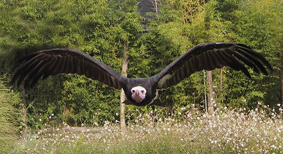 Falconeria-Geier-frontal-im-Flug