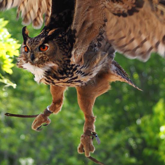Falconeria- Uhu im Anflug