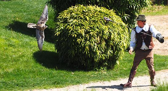 Falke-im-Anflug-auf-Falkner
