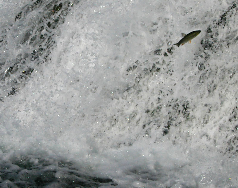 Fisch springt den Rheinfall hoch