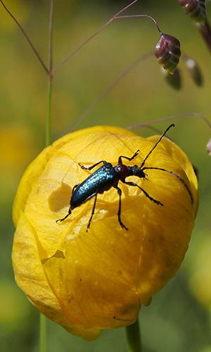 Käfer Foto-Exkursion Val-Lumnezia