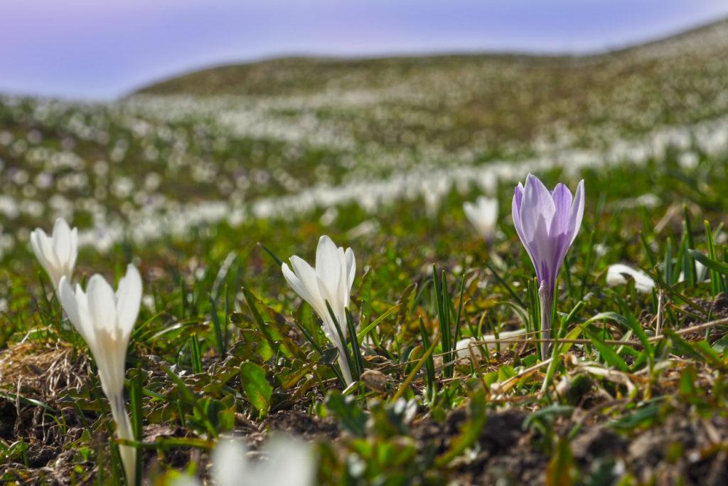 Krokus-Wiese fotografieren: Fotoexkursion Val Lumnezia