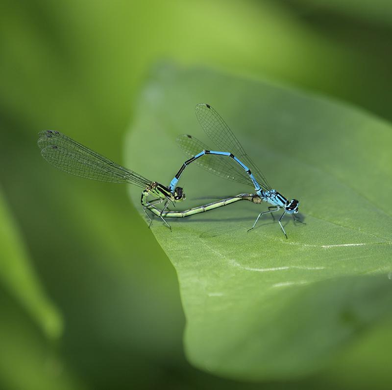 Libellen-Parung Makrofotografie ernen bei Fotokurse.COM DK.Widler