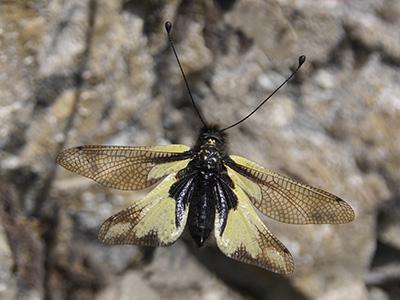 Schmetterlingshaft im Flug D.K.Widler©fotocenter.ch