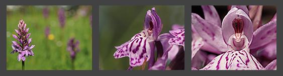 Orchis Orchideen fotografieren