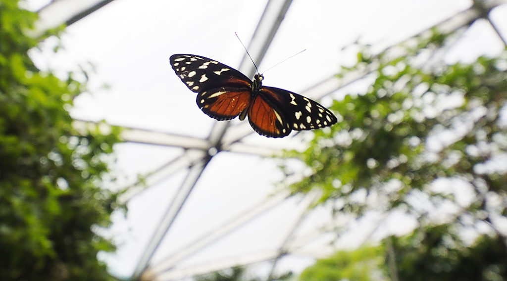 Schmetterlinge-im-Flug-fotografieren-im-Papilorama Fotokurs