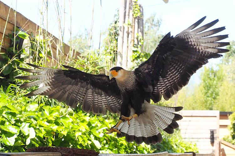 Falconeria Vögel fotografieren Karakara