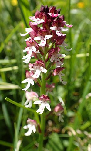 widle Orchideen Foto-Exkursion Val-Lumnezia